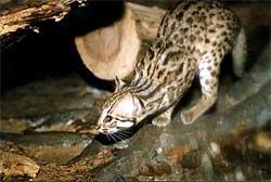 Бенгальская, или пятнистая дикая кошка