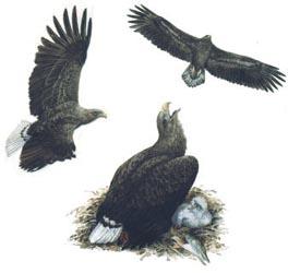 Рисунок с сайта Птицы Средней Сибири